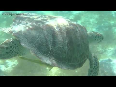 Turtle Filmed Underwater with OB Waterproof Camera Case   Waterproof Cases   Camera Case   OverBoard